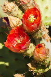 Prickly pear cactus blossoms Stock Images