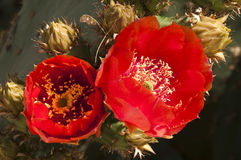 Prickly pear cactus blossoms. Blooming in the spring Stock Image
