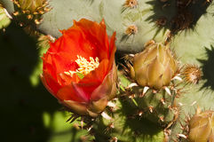Prickly pear cactus blossoms. Blooming in the spring Royalty Free Stock Photography
