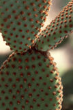 Prickly Pear Cactus Close Up Royalty Free Stock Image
