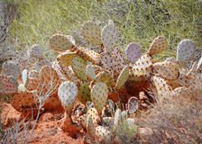Prickly Pear Cactus. Close up of a prickly pear cactus royalty free stock images