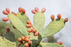 Prickly pear cactus. Close up with fruit royalty free stock photo