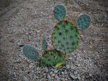 Prickly pear cactus close up looking like Mickey Mouse ears in the Arizona Desert. Opuntia is a genus in the cactus family, Cactac. Eae. USA Royalty Free Stock Image