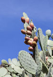 Prickly pear cactus Stock Photo