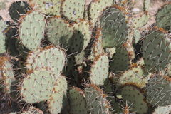 Prickly Pear cactus. Close up view of the Prickly pear cactus, a member of the Opuntia family royalty free stock images