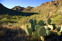 Prickly pear cactus in desert Royalty Free Stock Photography