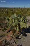Prickly pear cactus Stock Photos