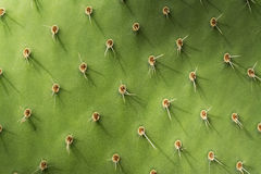 Prickly Pear Cactus Detail. Close-up Horizontal Photograph Stock Image