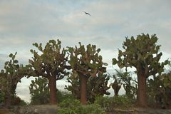 Prickly Pear Cactus on Floreana Island, Galapagos Islands Stock Images