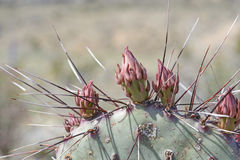 Prickly Pear Cactus Flower details Stock Image