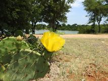 Prickly Pear Cactus Flower with Lake in Background. Yellow Prickly Pear Cactus Flower with a lake and trees in the background Stock Photo