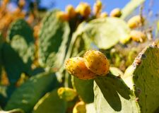 Prickly pear cactus with fruit stock photo