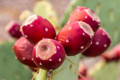 Prickly Pear Cactus Fruit. A prickly pear cactus in the Arizona desert bearing ripe red fruit stock photos