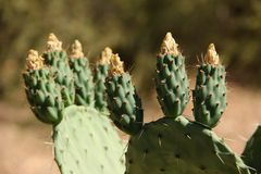 Prickly Pear Cactus. Fruit forming on the blade of a Prickly Pear Cactus growing in the mountains around the village of Tafraout, Morocco Royalty Free Stock Photos
