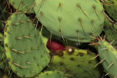 Prickly pear cactus and fruit stock images