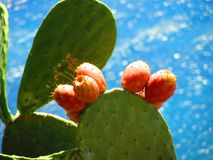 Prickly pear cactus with fruit. Holiday Stock Photos
