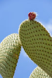 Prickly pear cactus with fruit. Royalty Free Stock Image