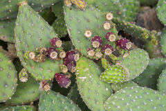 Prickly pear cactus with fruit in purple color. Stock Image