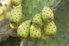 Prickly Pear Cactus Fruit Stock Image