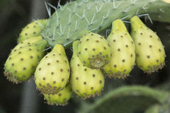 Prickly Pear Cactus Fruit Stock Photography