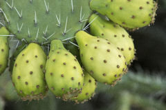 Prickly Pear Cactus Fruit Royalty Free Stock Image