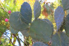 Prickly pear Cactus with fruit Royalty Free Stock Image