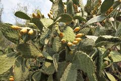 Prickly pear cactus fruit Royalty Free Stock Photos