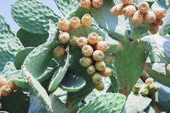 Prickly pear cactus with fruits also known as Opuntia, ficus-indica, Indian fig opuntia on the street of Acitrezza, Catania, Sicil stock photo