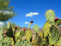 Prickly Pear Cactus Fruits Stock Photo