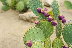 Prickly pear cactus with fruits in purple color. Royalty Free Stock Images
