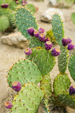 Prickly pear cactus with fruits in purple color. Stock Photos