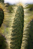 Prickly Pear Cactus - Galapagos Islands Stock Images