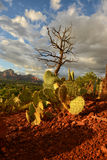Prickly pear cactus growing at Airport Vortex in Sedona, Arizona Royalty Free Stock Image