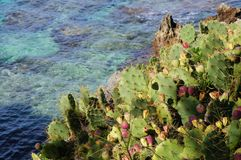 Prickly pear cactus. Prickly pear cactus growing on the sea bank Royalty Free Stock Photo