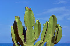 Prickly Pear Cactus growing on the sea Stock Photography