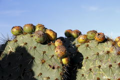 Prickly pear cactus I Royalty Free Stock Images
