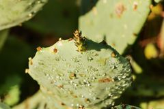 Prickly pear cactus royalty free stock photo