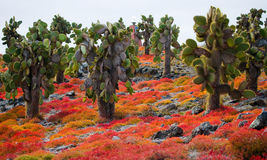 Prickly pear cactus on the island. The Galapagos Islands. Ecuador. An excellent illustration royalty free stock photo
