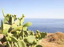 Prickly pear cactus on mediterranean sea. Coast with blue sea in the background Royalty Free Stock Photography