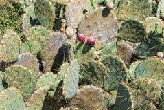 Prickly Pear Cactus Opuntia compressa Stock Photography