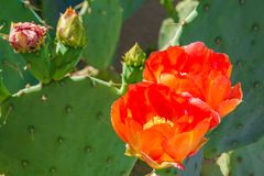 Prickly Pear Cactus Orange Flowers and Buds Royalty Free Stock Photo
