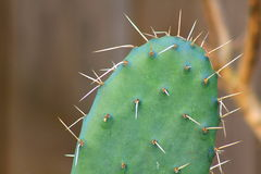 Prickly pear Cactus. A prickly pear cactus paddle close up Royalty Free Stock Photos