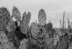 Prickly pear cactus perspective in black and white. Prickly pear audience waiting to be seen in Saguaro National Park stock image