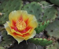 Prickly Pear Cactus Plant with a Blooming Yellow Flower. Prickly Pear cactus plant with a blooming yellow and orange flower Royalty Free Stock Photo