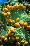 Prickly pear cactus plant ( opuntia ficus-indica) Stock Image