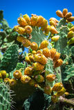 Prickly pear cactus plant ( opuntia ficus-indica) Royalty Free Stock Images