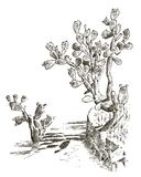 Prickly Pear Cactus. plants engraved hand drawn in old sketch, vintage style. mexican opuntia, flora and fauna Royalty Free Stock Photography
