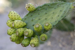 Prickly Pear Cactus Stock Image
