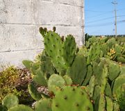 Prickly Pear Cactus By The Road Royalty Free Stock Photos