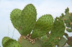 Prickly Pear Cactus with Snails Stock Image